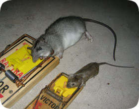 Baltimore Rat Control And Mouse Removal Rodent Trapping
